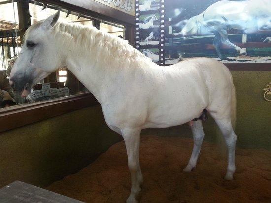 O cavalo ventania foi aposentado com as mesmas regalias deste cavalo branco aqui, do Beto Carrero