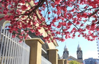 ESPETÁCULO DA NATUREZA – Cerejeiras Japonesas tornam-se cartão postal de Lages