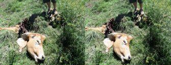 FURTO E ROUBO DE ANIMAIS – Desconfie de preço baixo, pode ser cavalo por búfalo ou cachorro por ovelha.