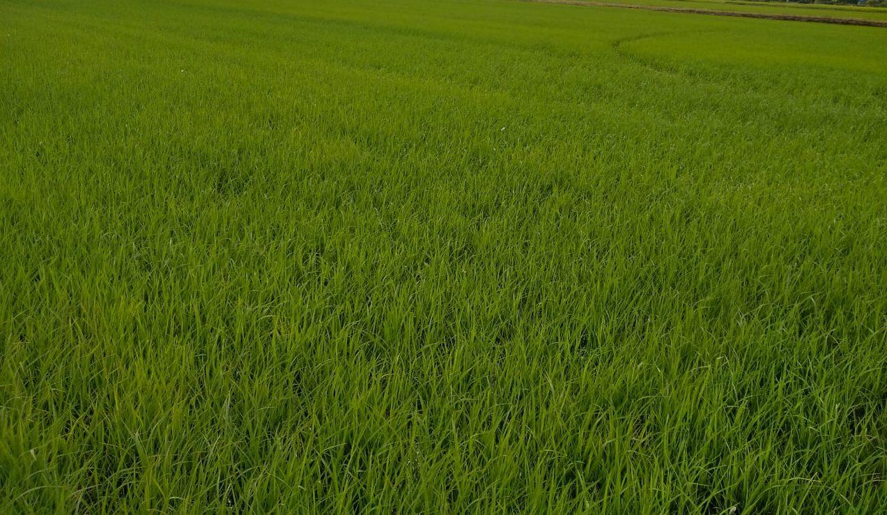 O MAR VERDE DA PLANTAÇÃO DE ARROZ – Sul de SC já semeou a nova safra do grão básico da mesa do brasileiro