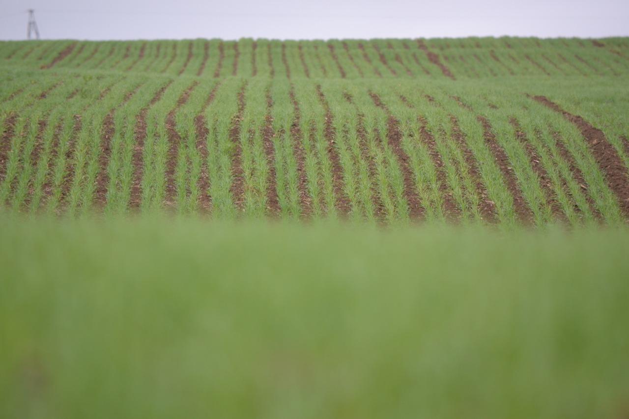 PRODUÇÃO DE CERVEJA IMPACTA MEIO RURAL DE SC – Cultivo de cevada e lúpulo está a todo vapor